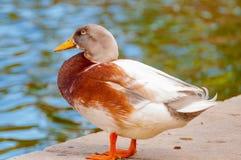 Φωτεινό πουλί παπιών κοντά στη λίμνη Στοκ εικόνα με δικαίωμα ελεύθερης χρήσης