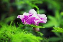 Φωτεινό ρόδινο ενιαίο λουλούδι gerber σε ένα σαφές πράσινο κλίμα Στοκ φωτογραφία με δικαίωμα ελεύθερης χρήσης