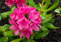 Φωτεινό ρόδινο λουλούδι πέντε-με φύλλα που λιπαίνει σε μια κινηματογράφηση σε πρώτο πλάνο ανθοδεσμών σε ένα κλίμα Στοκ φωτογραφία με δικαίωμα ελεύθερης χρήσης
