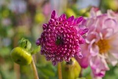 Φωτεινό ρόδινο χρωματισμένο ημι-ανοιγμένο λουλούδι νταλιών στοκ φωτογραφίες με δικαίωμα ελεύθερης χρήσης