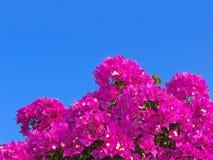 Φωτεινό ρόδινο bougainvillea, σαφής ουρανός στοκ φωτογραφία με δικαίωμα ελεύθερης χρήσης