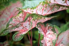 Φωτεινό ρόδινο Caladiums της οικογένειας Araceae Στοκ Φωτογραφίες