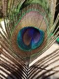 Φωτεινό φτερό peacock κοντά στο φακό Στοκ εικόνα με δικαίωμα ελεύθερης χρήσης