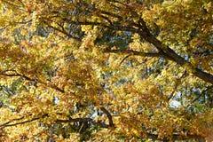 φωτεινό φύλλωμα πτώσης κίτρινο Στοκ φωτογραφία με δικαίωμα ελεύθερης χρήσης