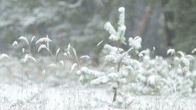 Φωτεινό χειμερινό τοπίο με τα χιονισμένα δέντρα πεύκων φιλμ μικρού μήκους