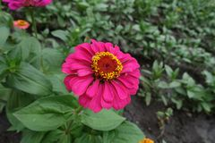 Φωτεινό χρωματισμένο ροδανιλίνη λουλούδι της Zinnia στοκ εικόνες