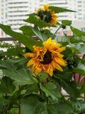 Φωτεινό όμορφο κίτρινο λουλούδι Στοκ Εικόνες