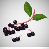 Φωτεινό juicy κεράσι ή hackberry πουλιών στο γκρίζο υπόβαθρο Γλυκός εύγευστος για το σχέδιό σας στο ύφος κινούμενων σχεδίων διάνυ Στοκ Φωτογραφία