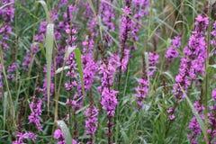 Φωτεινό salicaria Lythrum λουλουδιών Στοκ φωτογραφία με δικαίωμα ελεύθερης χρήσης