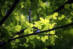 Φωτισμένα πράσινα φύλλα στον κλάδο στοκ εικόνες
