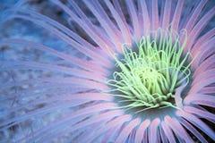 Φωτισμένο anemone θάλασσας σωλήνων Στοκ Εικόνα