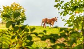 Φωτογενές καφετί άλογο Στοκ φωτογραφία με δικαίωμα ελεύθερης χρήσης
