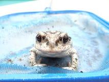 Φωτογενής βάτραχος στοκ εικόνες