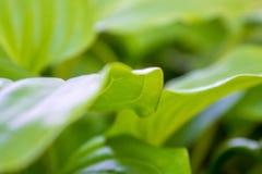 Φωτογραφία ενός μεγάλου πράσινου φύλλου στον κήπο Στοκ Φωτογραφία