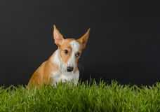 Φωτογραφία ενός μικρού πορτοκαλιού σκυλιού στο γκρίζο υπόβαθρο Στοκ εικόνες με δικαίωμα ελεύθερης χρήσης