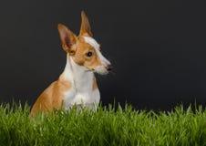Φωτογραφία ενός μικρού πορτοκαλιού σκυλιού στο γκρίζο υπόβαθρο Στοκ φωτογραφίες με δικαίωμα ελεύθερης χρήσης