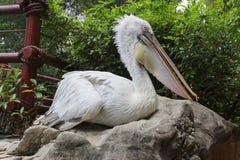 Φωτογραφία ενός πελεκάνου στο πάρκο πουλιών της Σιγκαπούρης Στοκ Εικόνες