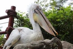 Φωτογραφία ενός πελεκάνου στο πάρκο πουλιών της Σιγκαπούρης Στοκ Φωτογραφία