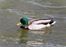 φωτογραφία ενός πρασινολαίμη που κολυμπά στη λίμνη Στοκ εικόνα με δικαίωμα ελεύθερης χρήσης