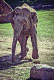 φωτογραφία ελεφάντων μωρών του 2009 που λαμβάνεται στοκ φωτογραφίες με δικαίωμα ελεύθερης χρήσης