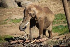 φωτογραφία ελεφάντων μωρών του 2009 που λαμβάνεται στοκ εικόνες με δικαίωμα ελεύθερης χρήσης