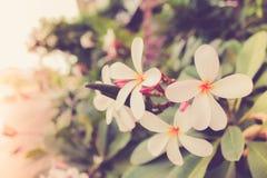 Φωτογραφία θαμπάδων δέντρων λουλουδιών Plumeria Στοκ Εικόνες