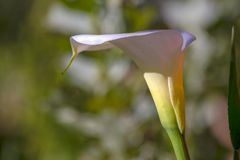Φωτογραφία κινηματογραφήσεων σε πρώτο πλάνο ενός λουλουδιού κρίνων arum στοκ φωτογραφία