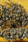 Φωτογραφία κινηματογραφήσεων σε πρώτο πλάνο της οικογένειας μελισσών Στοκ φωτογραφίες με δικαίωμα ελεύθερης χρήσης