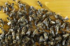 Φωτογραφία κινηματογραφήσεων σε πρώτο πλάνο της οικογένειας μελισσών Στοκ φωτογραφία με δικαίωμα ελεύθερης χρήσης