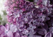 Φωτογραφία κινηματογραφήσεων σε πρώτο πλάνο των όμορφων ιωδών λουλουδιών πορφυρή άνοιξη λουλουδ&i Floral εποχιακό υπόβαθρο στοκ φωτογραφίες με δικαίωμα ελεύθερης χρήσης
