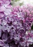 Φωτογραφία κινηματογραφήσεων σε πρώτο πλάνο των όμορφων ιωδών λουλουδιών πορφυρή άνοιξη λουλουδ&i Floral εποχιακό υπόβαθρο στοκ εικόνα με δικαίωμα ελεύθερης χρήσης