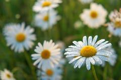 Φωτογραφία κινηματογραφήσεων σε πρώτο πλάνο chamomile λουλούδια Στοκ φωτογραφίες με δικαίωμα ελεύθερης χρήσης