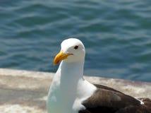 Φωτογραφία κινηματογραφήσεων σε πρώτο πλάνο seagull στην αγορά ενός ψαρά στοκ εικόνες
