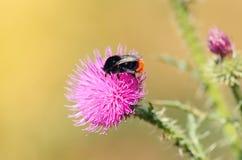 Φωτογραφία κινηματογραφήσεων σε πρώτο πλάνο μιας bumble μέλισσας στον κάρδο wildflower Στοκ Φωτογραφία