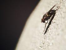 Φωτογραφία κινηματογραφήσεων σε πρώτο πλάνο της μύγας στοκ φωτογραφία