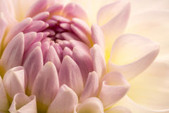 Φωτογραφία κινηματογραφήσεων σε πρώτο πλάνο του λουλουδιού Στοκ Φωτογραφία