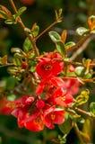 Φωτογραφία κινηματογραφήσεων σε πρώτο πλάνο των λουλουδιών chaenomeles στοκ φωτογραφίες