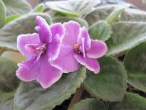 Φωτογραφία λεπτομέρειας του ιώδους λουλουδιού Στοκ Εικόνες