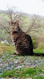 Φωτογραφία μιας γκρίζας τιγρέ γάτας της Pet στοκ φωτογραφίες με δικαίωμα ελεύθερης χρήσης