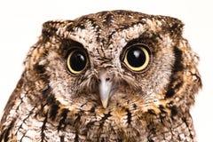 Φωτογραφία μιας κουκουβάγιας στη μακρο φωτογραφία, φωτογραφία υψηλής ανάλυσης cub κουκουβαγιών Η γραφειοκρατική κουκουβάγια, κάλε στοκ εικόνες με δικαίωμα ελεύθερης χρήσης