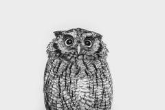 Φωτογραφία μιας κουκουβάγιας στη μακρο φωτογραφία, φωτογραφία υψηλής ανάλυσης cub κουκουβαγιών Η γραφειοκρατική κουκουβάγια, κάλε στοκ εικόνες