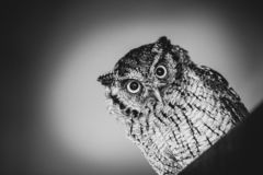 Φωτογραφία μιας κουκουβάγιας στη μακρο φωτογραφία, φωτογραφία υψηλής ανάλυσης cub κουκουβαγιών Η γραφειοκρατική κουκουβάγια, κάλε στοκ φωτογραφία με δικαίωμα ελεύθερης χρήσης