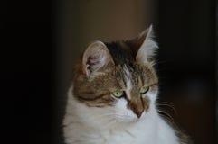Φωτογραφία μιας όμορφης γάτας, φωτογραφία γατών Στοκ Εικόνες