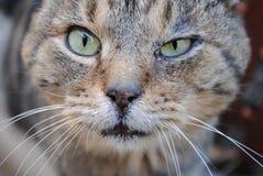 Φωτογραφία πορτρέτου μιας άγριας γκρίζας γάτας στοκ φωτογραφίες