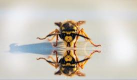 φωτογραφία που απεικονίζει μια σφήκα έντομο στοκ εικόνες