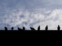 Φωτογραφία σκιαγραφιών των πουλιών περιστεριών αγριοπερίστερων που κάθονται στο ro Στοκ φωτογραφία με δικαίωμα ελεύθερης χρήσης