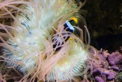 Φωτογραφία της θάλασσας anemones Στοκ φωτογραφία με δικαίωμα ελεύθερης χρήσης