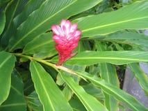 Φωτογραφία της ρόδινης πιπερόριζας (purpurata Alpinia) στη Χονολουλού, Χαβάη Στοκ φωτογραφία με δικαίωμα ελεύθερης χρήσης