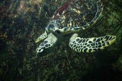 Φωτογραφία της χελώνας θάλασσας Στοκ Φωτογραφία