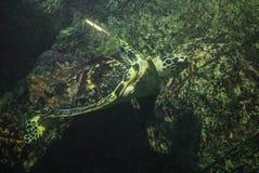 Φωτογραφία της χελώνας θάλασσας Στοκ Φωτογραφίες